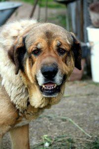 Harjula_koira