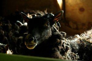 Harjula_lammas